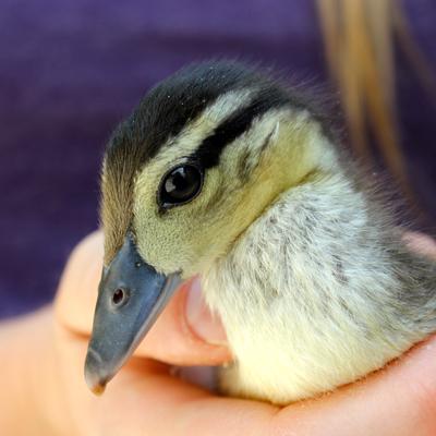 duckling_syd