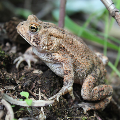 toad_sqaure